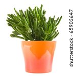 succulent crassula plant with... | Shutterstock . vector #65903647