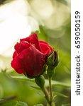 tea rose garden in the summer... | Shutterstock . vector #659050159