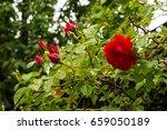 tea rose garden in the summer... | Shutterstock . vector #659050189