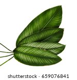 calathea ornata  pin stripe... | Shutterstock . vector #659076841