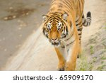 tiger | Shutterstock . vector #65909170