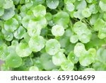 asiatic pennywort | Shutterstock . vector #659104699