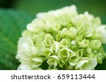 Closeup Of Green Hydrangea ...