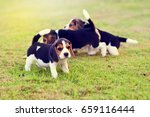 Stock photo young beagles playing together in garden 659116444