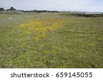 a patch of yellow wildflowers... | Shutterstock . vector #659145055