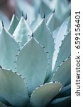 Small photo of Agave parryi or mescal agave, desert plant