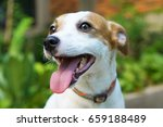 Jack Russell Terrier Smiles At...