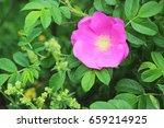 Stock photo blooming flower dog rose 659214925