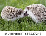 two hedgehogs outside in the... | Shutterstock . vector #659227249