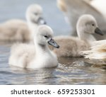 Cygnet Swimming On The Water...