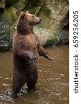kamchatka brown bear  ursus...   Shutterstock . vector #659256205