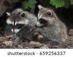 newborn raccoon  procyon lotor  ... | Shutterstock . vector #659256337