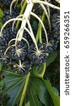 Small photo of Fatsia aralia japonica, paperplant, sieboldii de vriese with black fruits