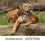 Stock photo mother and baby tiger cub 65927428