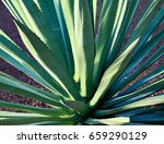 agave succulent plant.agave...   Shutterstock . vector #659290129