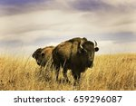 A Small Group Of Bison In Tall...