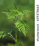 Small photo of Ragweed, Common ragweed (Ambrosia artemisiifolia)