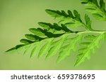 Ragweed  Common Ragweed ...