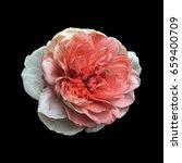 pink rose on a black background  | Shutterstock . vector #659400709