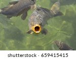 Carp With Big Open Mouth ...
