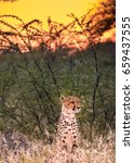 Small photo of Close encounter with a cheetah right after dawn in the Onguma Reserve at the Eastern edger of the Etosha National Park, Namibia. She was hiding two young cubs in the bush