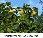 cydonia oblonga   common quince ... | Shutterstock . vector #659457805