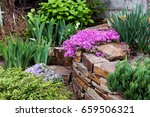 perennial ground cover blooming ... | Shutterstock . vector #659506321