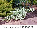 Shady Ground Cover Plant Lamiu...