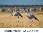 Blue Cranes Among Herds Of...
