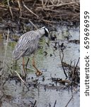 Small photo of Yellow-Crowned Night Heron hunting at Caw Caw Interpretive Center