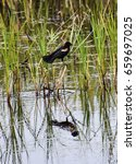Small photo of Red-Winged Black Bird at Caw Caw Interpretive Center