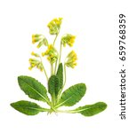 flowers and leaves primula...   Shutterstock . vector #659768359
