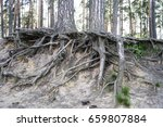 tree roots. tree roots in the... | Shutterstock . vector #659807884