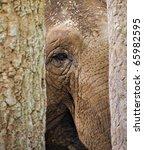 An Indian Elephant Looks...