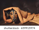 Small photo of Small black and brown dog hiding under orange blanket on couch looking scared worried alert frightened afraid wide-eyed uncertain anxious uneasy distressed nervous tense