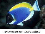 Small photo of Powder blue surgeonfish , Acanthurus leucosternon , Similan Islands Thailand
