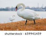 Swan On Blue Lake Water In...