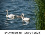Swan Family  Swan Love.swan...