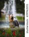 australian silky terrier   ch.... | Shutterstock . vector #659962051