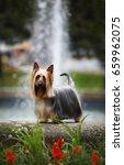 australian silky terrier   ch.... | Shutterstock . vector #659962075