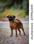 bruxelles griffon  | Shutterstock . vector #659962345