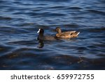 Coot Duck Sea. Duck And Black...