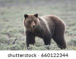 Grizzly Bear  Ursus Arctos...