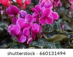 Purple Cyclamen Flowers In...