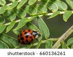 Orange Lady Bug With Black Dots