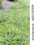 Small photo of Weeds parasites pests, dandelion, in lawn grass before herbicide, weedkiller, weed whacker