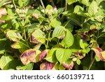 disease of hydrangea due to...   Shutterstock . vector #660139711