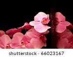 Pink night orchid with drop of water on black background, valentine concept - stock photo