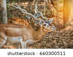 Close Up Blackbuck Antelope...