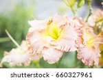 Pink Beautiful Daylily In The...